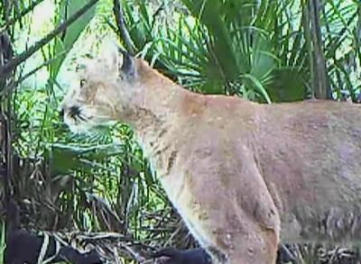 News video: Florida Panther Rebound Upsets Ranchers